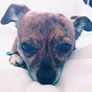Vote For Riley the Chiweenie